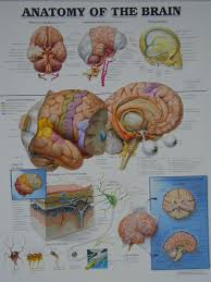 Exercise 17 Gross Anatomy Of The Brain And Cranial Nerves Biology 2404 A U0026p Basics