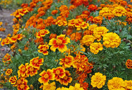 Marigolds Shade by Favorite Annuals U2013 Flowers