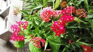 Zone Gardening - tropical zone gardening please id shrub small tree with pink