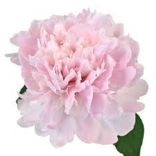 bulk peonies peony flowers in april wholesale bulk flowers fiftyflowers