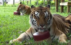 this is how big cats stay cool video one green planet