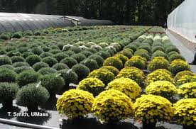 Picture Of Mums The Flowers - growing garden mums for fall sales center for agriculture food