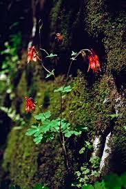 illinois native plants columbine the mountain goat of plants illinois