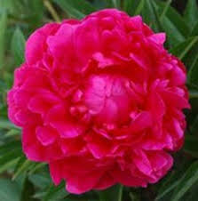 wholesale peonies wholesale bulk kansas peony l from myflowerbuyer
