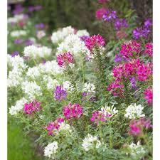 Cleome Flower - cleome u0027colour mix u0027