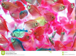 the translucent colorful tropical fish royalty free stock images