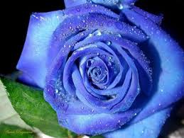 blue roses blue roses beautiful pictures 24 pics izismile