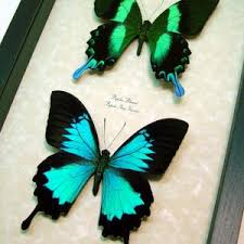 Blue And Green Butterfly - butterfly designs framed butterfly for sale bats bugs