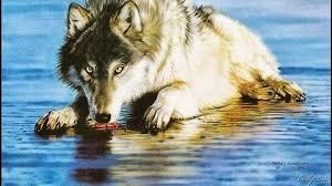 imagenes de fondo de pantalla lobos fondo de pantalla animales lobo en el agua fondo pantalla online