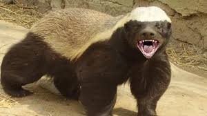 Honey Badger Meme - honey badger know your meme