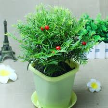 chinese indoor plants online chinese indoor plants for sale