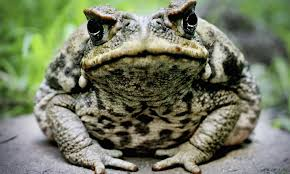 are there really hallucinogenic frogs howstuffworks