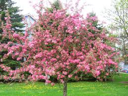 Trees With Pink Flowers Pink Flower Tree 2 By Halolux On Deviantart
