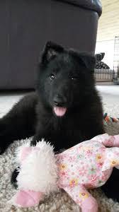 belgian sheepdog nationals casica u0027s yano marley groenendaeler pup belgian sheepdog dogs