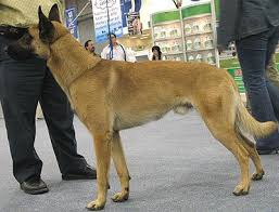 belgian shepherd 4 months the 281 best images about belgian malinois on pinterest