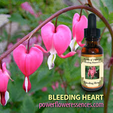 bleeding heart flower bleeding heart flower essence strengthen the heart chakra