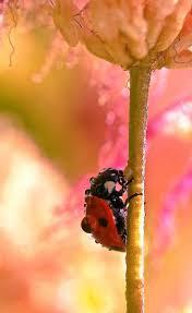112 best ladybug images on pinterest lady bugs ladybug and nature