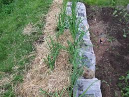 Mulching Vegetable Garden by Early Summer Chores In The Vegetable Garden Henry Homeyer