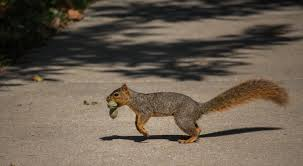 campus course studies baker squirrels u2013 the baker orange