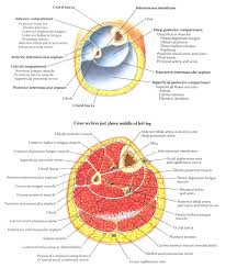 Borders Of The Heart Anatomy Anatomy Practical Upper Limb 2 Breast Axilla And Arm Group D