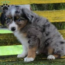 buy a australian shepherd miniature australian shepherd puppies for sale greenfield puppies