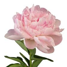 peonies flower delivery pleasing blush pink peonies flower june delivery creative peony