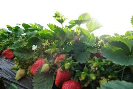 caring for strawberries in conditions u2013 tips on growing