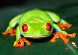 eyed tree frog facts for eyed tree frog habitat diet
