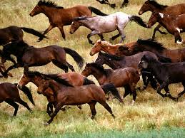 mustang horse running horse population u0027running wild u0027 in new mexico horse racing news