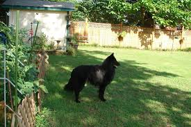 belgian sheepdog national specialty 2014 handsome ransom slipcheck belgian sheepdogs