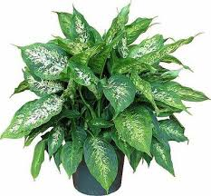 best plants for air quality top indoor plants best air filters for homedumb cane top indoor