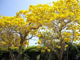 flowering trees in florida yellow pictures reference