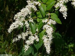 trees with white flowers ligustrum sinense privet plants i want