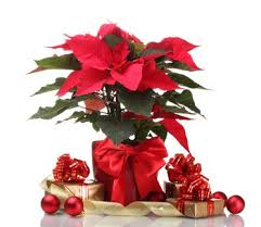 Christmas Plants How To Keep Your Cat Safe From Toxic Plants Over The Holiday