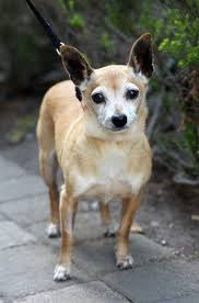 australian shepherd mixed with chihuahua afrp dogs available for adoption