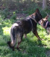 belgian sheepdog for adoption protection dogs u0026 puppies for sale