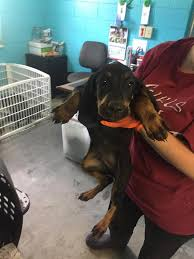 bluetick coonhound rescue nc urgent foster plea charleston sc area carolina coonhound