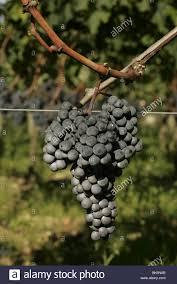 learn about petrus pomerol bordeaux merlot grapes at chateau petrus pomerol bordeaux stock