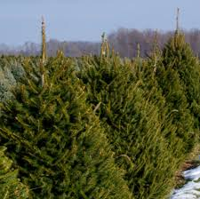 timbuk farms christmas trees granville ohio