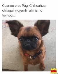 Memes De Chihuahua - dopl3r com memes cuando eres pug chihuahua chilaquil y gremlin
