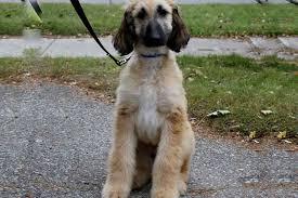 afghan hound rescue az puppy stages of development puppies puppy