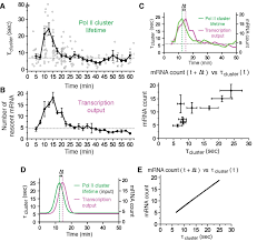 rna polymerase ii cluster dynamics predict mrna output in living