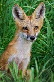 1147 best red foxes images on pinterest red fox wild animals