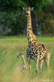 1001 best giraffe lovers images on pinterest baby giraffes