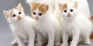 beautiful kittens 50 most cute turkish van kitten pictures