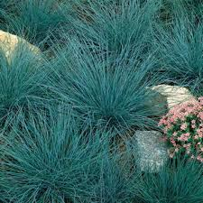 blue fescue seeds from park seed