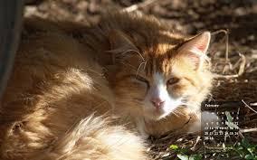 Small Desktop Calendar Free Fluffy Orange February Free Desktop Calendar The Feral Life Cat