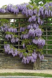 wisteria sinensis australian bush flower 59 best wisteria images on pinterest gardens flowers and landscapes