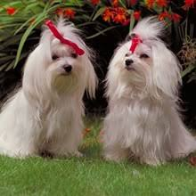 bichon frise for sale cheap maltese puppies for sale