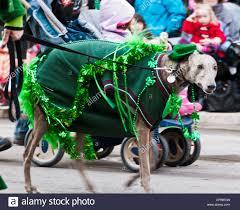 saint patricks day dog stock photos u0026 saint patricks day dog stock